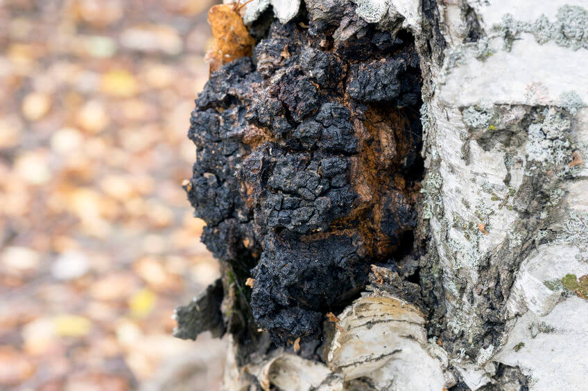 chaga mushroom side effects | Gundry MD